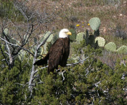 Bald eagle sitting in the desert