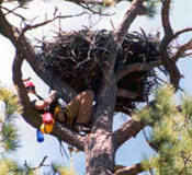 Arizona Game and Fish Department entering nest to band to place transmitter on nestling